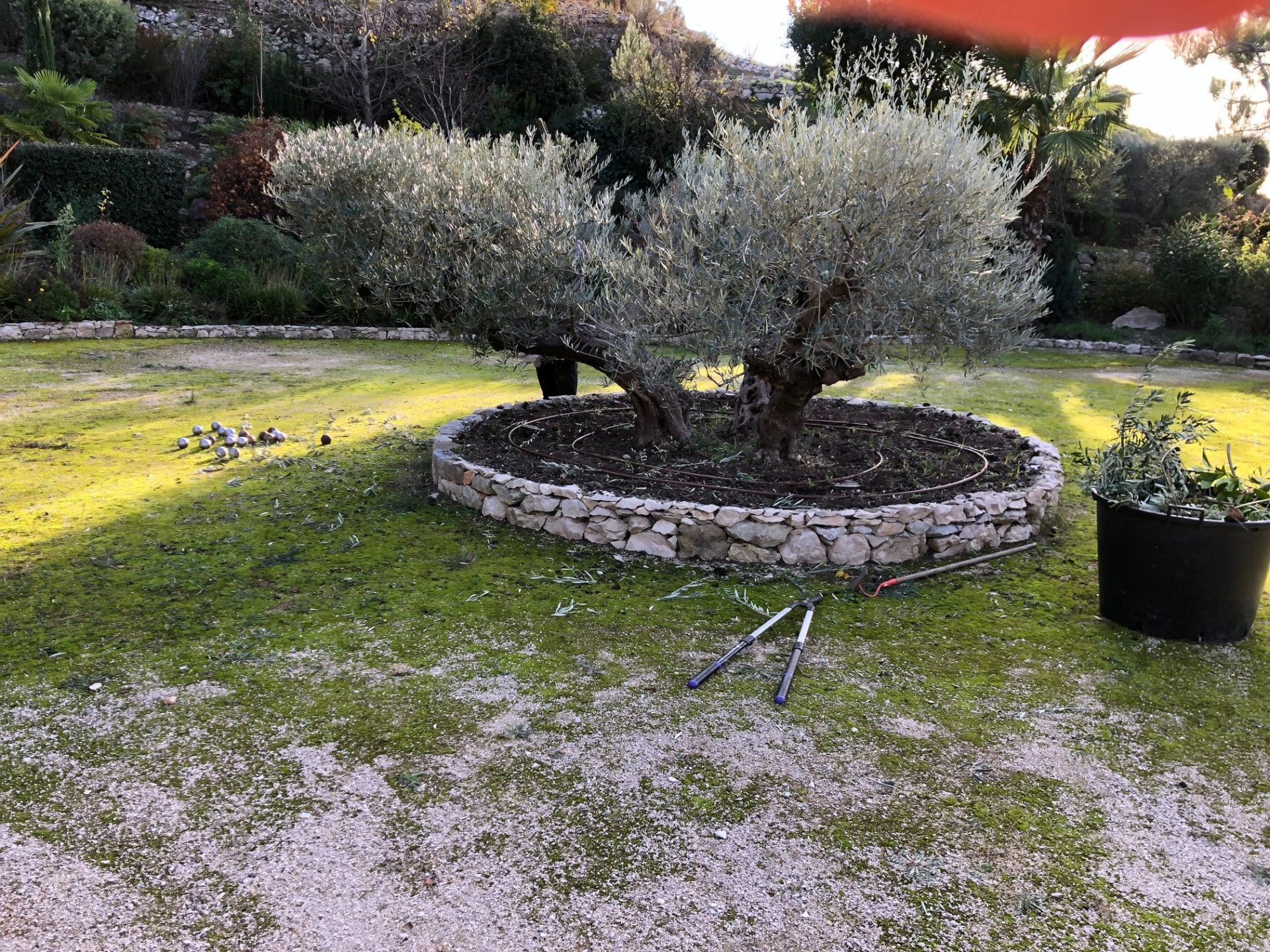 entretien olivier cassis aubagne jardin paca
