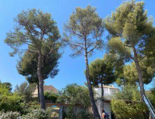 Abattage pin Paysagiste Jardinier